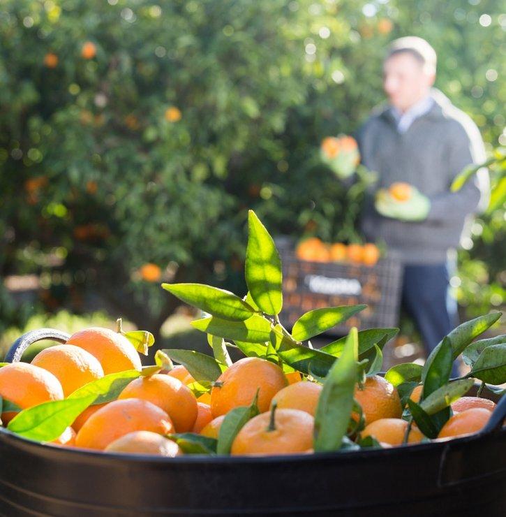 Unavenému ovoci ze supermarketů je konec. Crowdfarming vám doveze citrusy i avokáda, které ještě před dvěma dny visely na stromě